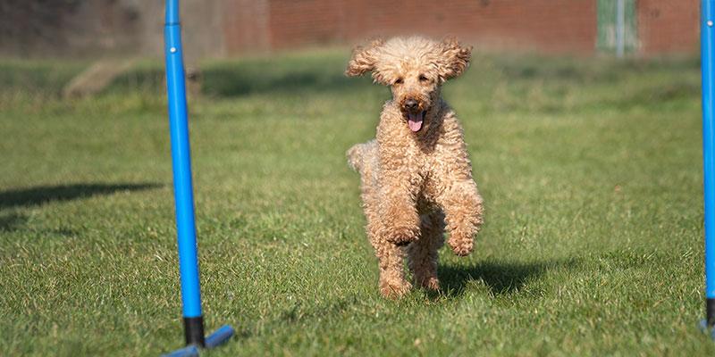 Hund im Fokus Hoopers